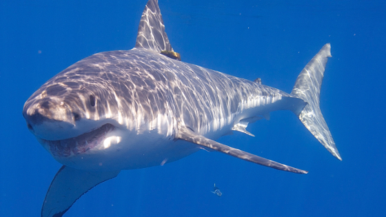 This Is The Real Reason You'll Never See A Great White ...