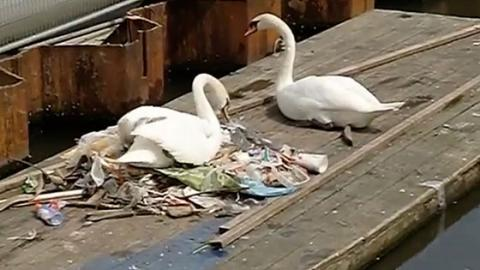 A Swan Was Filmed Building A Nest Out Of Plastic Waste