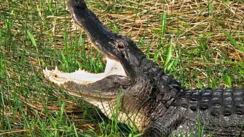Man Causes Chaos By Walking Into An Off-License With An Alligator