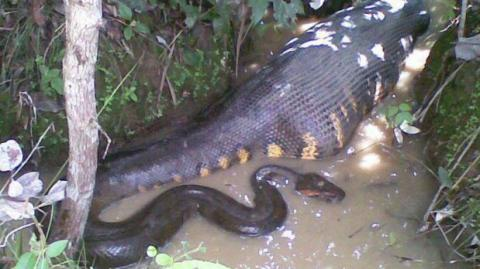 This Anaconda Stunned Onlookers As It Swallowed A Massive Prey In Front Of The Cameras