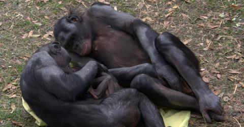 Researchers Stunned By Apes Exhibiting This Very Human Behaviour