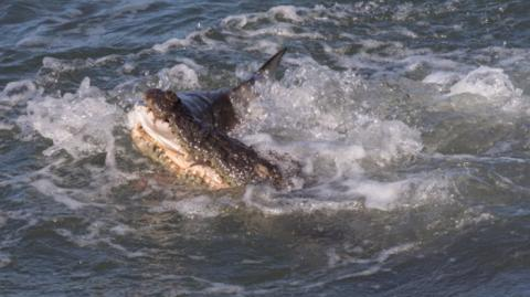 Have You Ever Wondered Who Would Win In A Face Off Between A Shark And A Crocodile ?