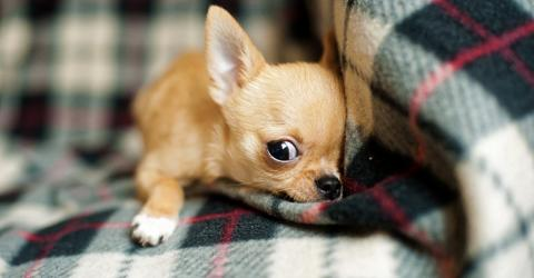 Small Dogs Have Found A Bizarre Trick to Lie About Their Size