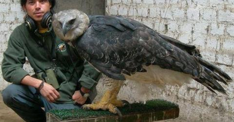 Meet One Of The Biggest And Most Powerful Birds Of Prey In The World