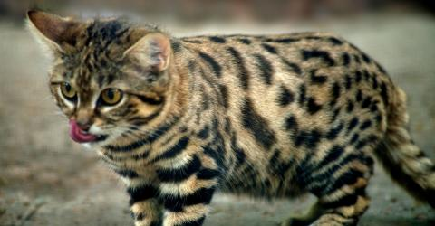 This Tiny Kitty May Be The Worlds Deadliest Feline!