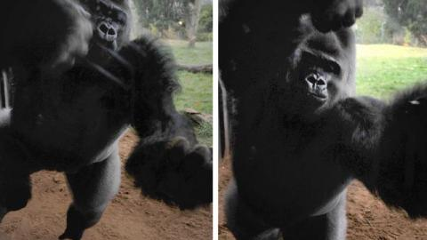 This Gorilla Escaped From London Zoo And His First Reaction Shocked Everyone
