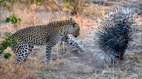 This Leopard Discovered Why It's Never A Good Idea To Attack A Porcupine