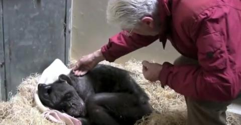 This Dying Chimpanzee Has The Most Beautiful Reaction When She Meets the Man Who Raised Her