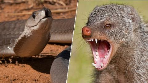 When A Mongoose Confronts A Black Mamba In The Wild