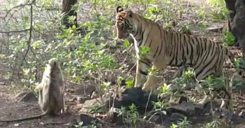 They Held Their Breath As The Tiger Leapt Towards The Monkey - But Then Something Extraordinary Happened
