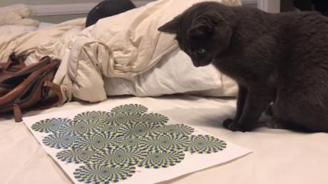 This Man Decided To Test An Optical Illusion On His Cat And The Result Was Surprising