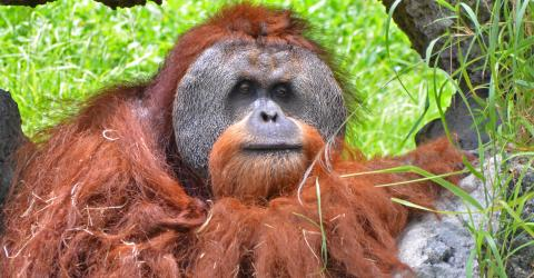 Orangutans Have This Fascinating Behaviour In Common With Humans