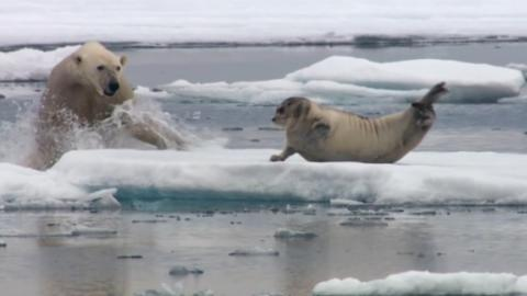 Starving, This Polar Bear Has An Impressive Reaction On Seeing This Seal
