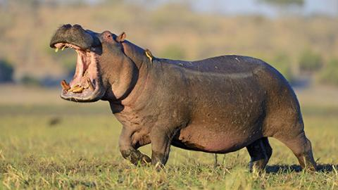 2000 Hippos May Soon Be Killed In Zambia For This Tragic Reason