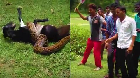 Brave Villagers in India Take On Python Attacking A Baby Goat