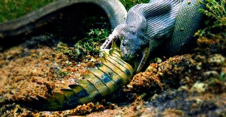 This Giant Python Was Caught On Camera Swallowing An Entire Crocodile In One Go