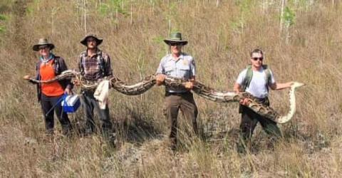 'Largest Python Ever' Found In Florida - After Being Betrayed By Her Mate