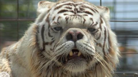 Meet Kenny: The Tiger That Defied All Odds