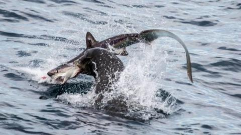 Incredible Footage Shows Sea Lion Attacking And Eating Sharks