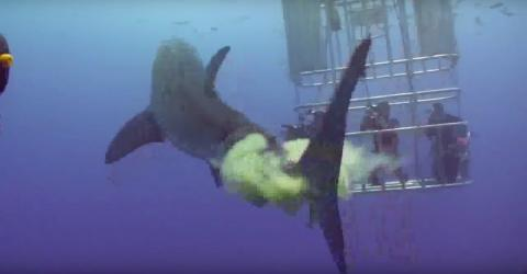 This Shark Was Filmed Taking A Huge Dump On These Cage Divers