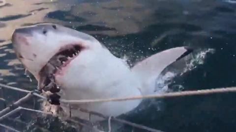 These Tourists Received Quite A Shock When A Monstrous Great White Shark Leapt Out Of The Water