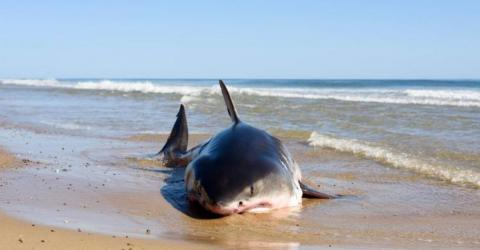A Fisherman Was Left Speechless By What He Found In This Shark's Belly