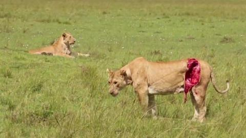This Lioness Was Left For Dead... Then Something Amazing Happened
