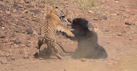 Vicious Encounter Between A Sloth Bear And Bengal Tiger Caught On Camera