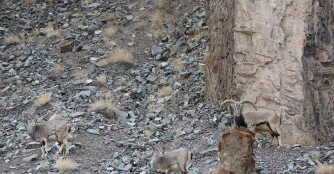 Most People Can't Spot The Elusive Snow Leopard Hiding In This Photo - Can You?