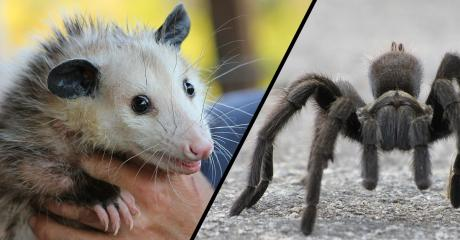 This Horrifying Footage Shows What Happens When A Giant Tarantula Captures A Baby Opossum