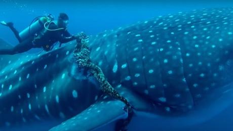 This Whale Shark Was Trapped In A Fishing Line - Until A Diver Arrived And Did Something Amazing