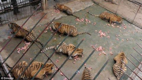 Tiger Bone Wine - The Chinese Remedy May Fight Rheumatism But Not Cruelty