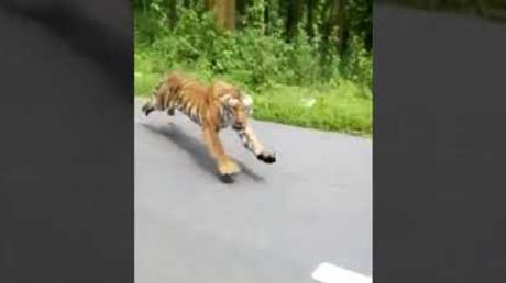 Shocking Footage Shows How Two Bikers Miraculously Escaped A Tiger Attack