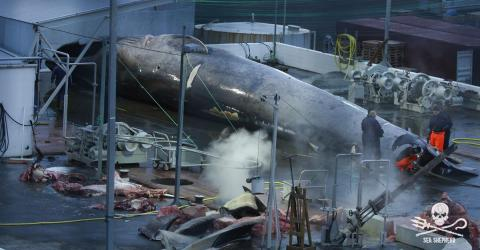 Whale Hunting: Sea Shepherd Reports On A Blue Whale Murder in Iceland
