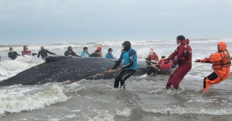 Watch The Spectacular Rescue Of This Humpback Whale Stranded On A Beach In Argentina