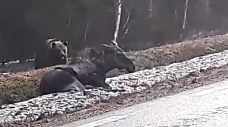 This Bear Was Caught On Camera Devouring A Live Moose On The Side Of A Road