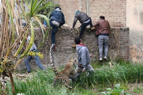 Shocking Footage Shows A Leopard Wreaking Havoc After Getting Lost In A Village