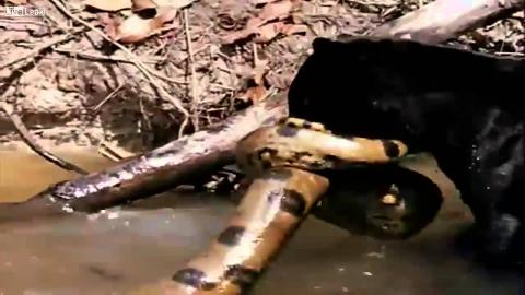The Gripping Moment A Black Panther Wrestles A 136 kg Anaconda