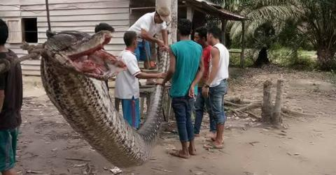 Watch How These Villagers Fought Off And Killed A Giant Python In Indonesia