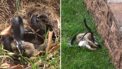When A Snake Attacked Her Babies This Mother Rabbit Didn't Hesitate To Attack