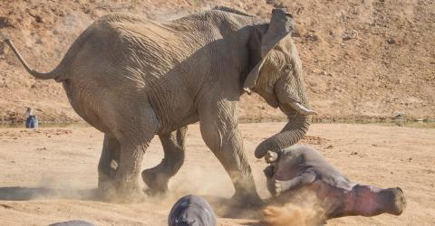 The Hippo Got Too Close To This Elephant... What Happened Next Stunned Everyone
