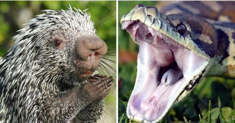 This Is What Happens When A Snake Decides To Eat A Porcupine