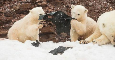 They Captured These Stunning Photos Of Polar Bear Cubs Playing... But Their Hearts Broke When They Zoomed In
