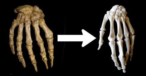 Was The Evolution Of The Human Hand Influenced By Our Ancestors' Fondness For Bone Marrow?