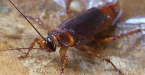 Cockroaches Will Outlive All Of Us: Here's Why