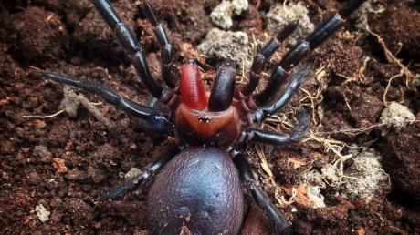 This terrifying 'Dracula spider' will haunt your dreams