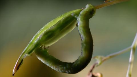Caterpillar Unknowingly Eats 'Exploding Touch-Me-Not' Seed Pods