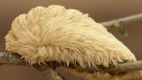 This Fluffy Little Creature Is Actually An Extremely Dangerous Insect