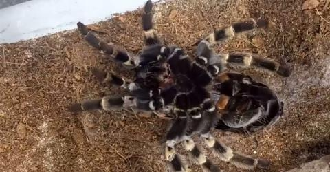 Watch a Mexican spider moulting in fascinating time-lapse footage