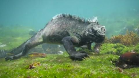 This Iguana Was Spotted Walking Under Water In The Galapagos